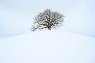 Eine Linde (Tilia sp.) auf einem rundlichen Hügel in der tief verschneiten Drumlinlandschaft bei Menzingen bei diffuser Bewölkung, Kanton Zug, Schweiz<br /> <br /> A lime tree (Tilia sp.) On a rounded hill in the snow-covered Drumlin landscape near Menzingen with diffuse clouds, Canton Zug, Switzerland