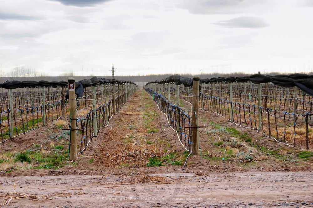 View over the vineyard, sandy soil and young vines, drip irrigation. with netting used to shield and protect the vines from birds and from hail damage. Bodega NQN Winery, Vinedos de la Patagonia, Neuquen, Patagonia, Argentina, South America