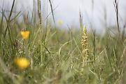 Man orchid (Orchis anthropophora). Surrey, UK.