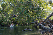 Splashdown: A teen boy splashes down in a deep pool on the Dungeness River on a record hot summer day, after jumping off a high limb. (Sequence composite from 2 images)