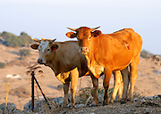 Israel, Negev, Lachish region, Free roaming cattle grazing in the fields