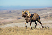Bighorn sheep in Badlands National Park of South Dakota