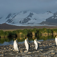 King Penguins march toward their rookery at at Salisbury Plain, South Georgia, Antarctica.
