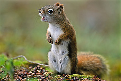 Chattering red squirrel