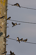 Barn swallow, Hirundo rustica, France, flying, Perching, Summer, wires, perched