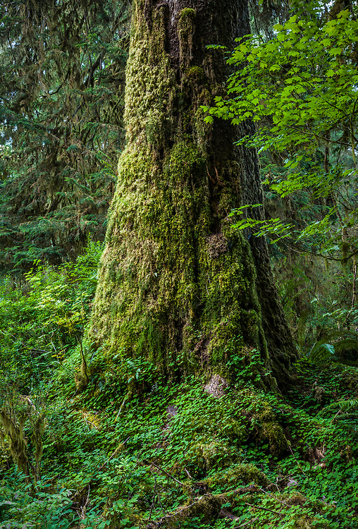 A beautiful old tree trunk covered in moss and Oxalis, Hoh Rain Forest, Olympic National Park, Washington, USA.