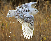 A snowy owl photographed in 2012. (Mark Harrison / The Seattle Times)