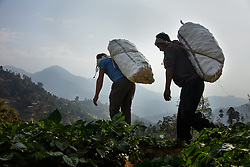 Heavy sacks of potatoes from Durga's farm are taken down the hill to be sold. Most members of the community work on an exchange labor basis. When one family needs help harvesting, family and neighbors come to help with the workload in exchange for food and beverages. It is expected that they will do the same for each of these community members when the time is needed. <br /> <br /> Niruta and Durga were married 9 years ago, when they were just 14 and 16 years old in the Kagati village of Nepal. The 2015 earthquakes devastated Nepal and left girls and women in an increasingly vulnerable position, leading experts to believe child marriage rates will increase over the coming years.