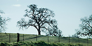 Silhouetted Oaks on California's central coast