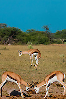 Springbok jumping and sparring, Nxai Pan National Park, Botswana.