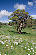 Gumtree in flower covered field near Armidale, New England, Australia