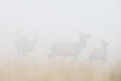 Bull elk chasing cows in fog during fall rut, Vermejo Park Ranch, New Mexico, USA.