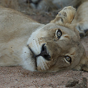 Close up of female African lion sleeping. Timbavati Private Nature Reserve. South Africa.
