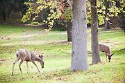 Wild Deer Grazing