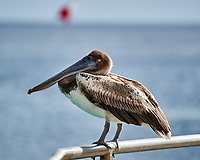 Brown Pelican (Pelecanus occidentalis). Kralendijk, Bonaire. Image taken with a Nikon D3s camera and 70-300 mm VR lens.