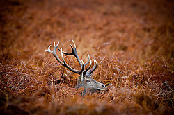 Red deer stag in ferns at Bradgate Park, Leicestershire, England, UK.