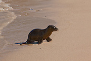 A galapagos sea lion pup on (Zalophus californianus) on the beach. Santa Fe Island, Galapagos Archipelago - Ecuador.