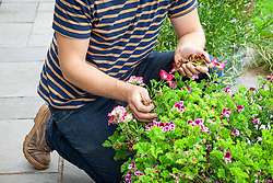 Deadheading summer containers on a patio - pelargoniums