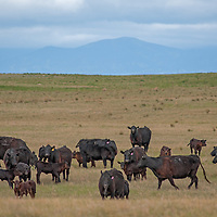 Cattle Graze on a ranch in Phillips County Montana.  The Little Rocky Mountains rise in the background.