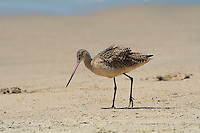 Large for a sandpiper, and of the four species of godwits in the world, the marbled godwit is the biggest. This beautiful cinnamon-mottled shorebird breeds in the central North America's Great Plains (Alberta, the Dakotas, Montana, Minnesota and Nebraska) and travels to the coasts to winter where it can be found along the Atlantic Ocean, Pacific Ocean and the Gulf of Mexico. Mostly associated with marshes, mudflats and sand flats, these uncommon shorebirds can sometimes be seen on the beach, such as this one along with several others in Los Angeles, California near the Del Rey Lagoon.