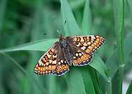 Marsh Fritillary Euphydryas aurinia Wingspan 40-50mm. A rather lethargic butterfly, that is fond of basking in sunshine. Adult is beautifully marked with reddish-orange, buff and yellow; upperwings are more colourful than underwings. Flies May–June. Larva is black with tufts of spiny hairs; feeds on Devil's-bit Scabious and plantains. Widespread but very local on heaths and chalk grassland; mainly in southwest England and Wales, and southwest Scotland.