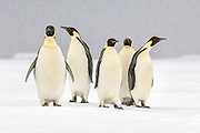 Emperor Penguins (Aptenodytes forsteri)  stand in the middle of a snow storm, Weddell Sea