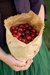 Freshly picked cherries in a paper bag
