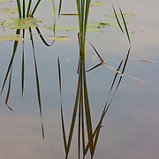 Reeds, and cloud refections on a lake in the summertime.