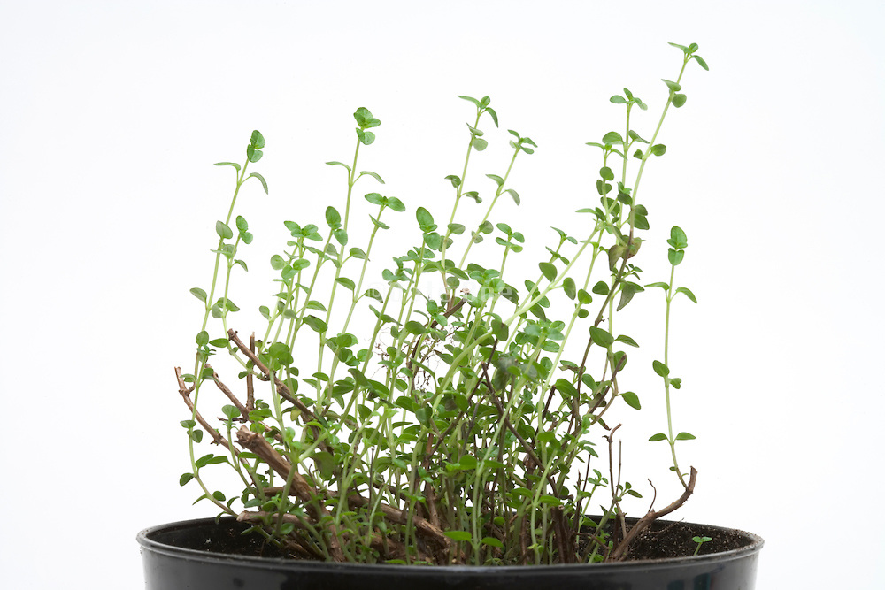 young tender sprouting English Thyme