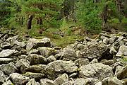 Swiss Stone Pine (Pinus cembra), Arolla Pine, High Tauern National Park (Nationalpark Hohe Tauern), Central Eastern Alps, Austria | Zirbel-Kiefer (Pinus cembra), Zirbelkiefer, Zirbel, Arve, Oberhauser Zirmwald, Nationalpark Hohe Tauern, Osttirol in Österreich