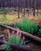 Fireweed, Chamerion angustifolium, blooming in charred lodgepole pine forest burned by the North Fork Fire two years earlier, near Madison, Yellowstone National Park, Wyoming.