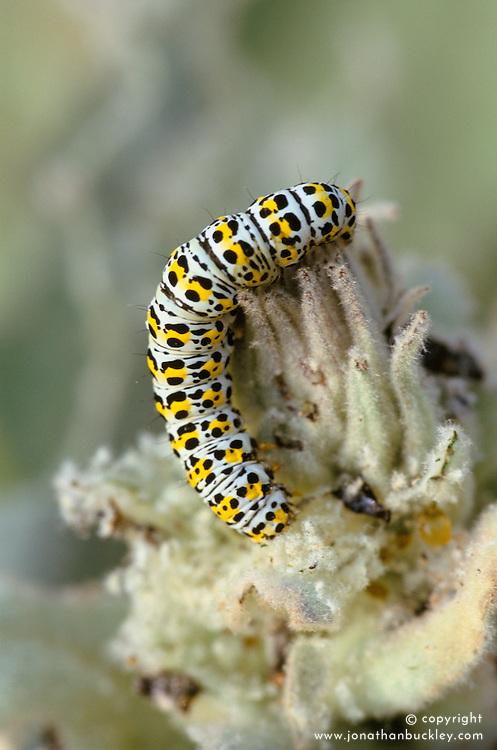 Mullein moth caterpillar on verbascum