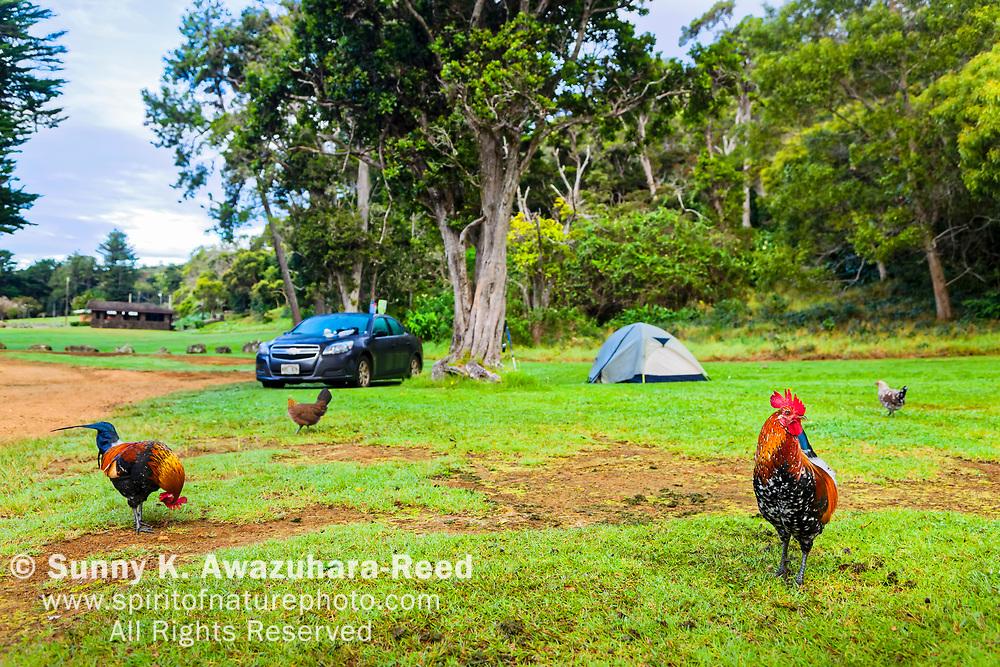 Tent camping among wild chickens. Koke'e State Park Campground, Kauai, Hawaii.