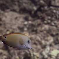 Brown Surgeonfish, Acanthurus nigrofuscus, (Forsskål, 1775), Maui, Hawaii