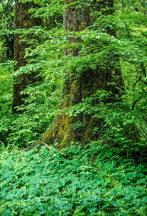 Old growth forest, vanilla-leaf wildflowers, spring, Hoh Rain Forest, Olympic National Park, Washington, USA