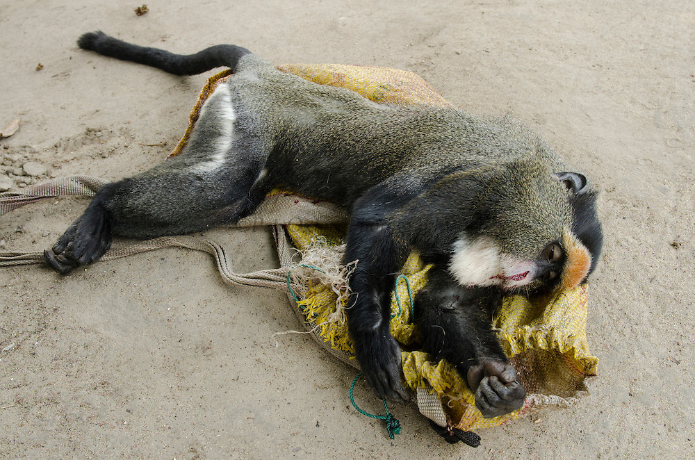 Bushmeat<br /> Female De Brazza's monkey (Cercopithecus neglectus)<br /> Road Brazzaville to Mbomo (N2)<br /> Republic of Congo (Congo - Brazzaville)<br /> AFRICA