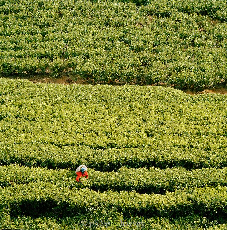 High angle view of Tea Picker on the Nuwara Eliya Tea plantation, Sri Lanka