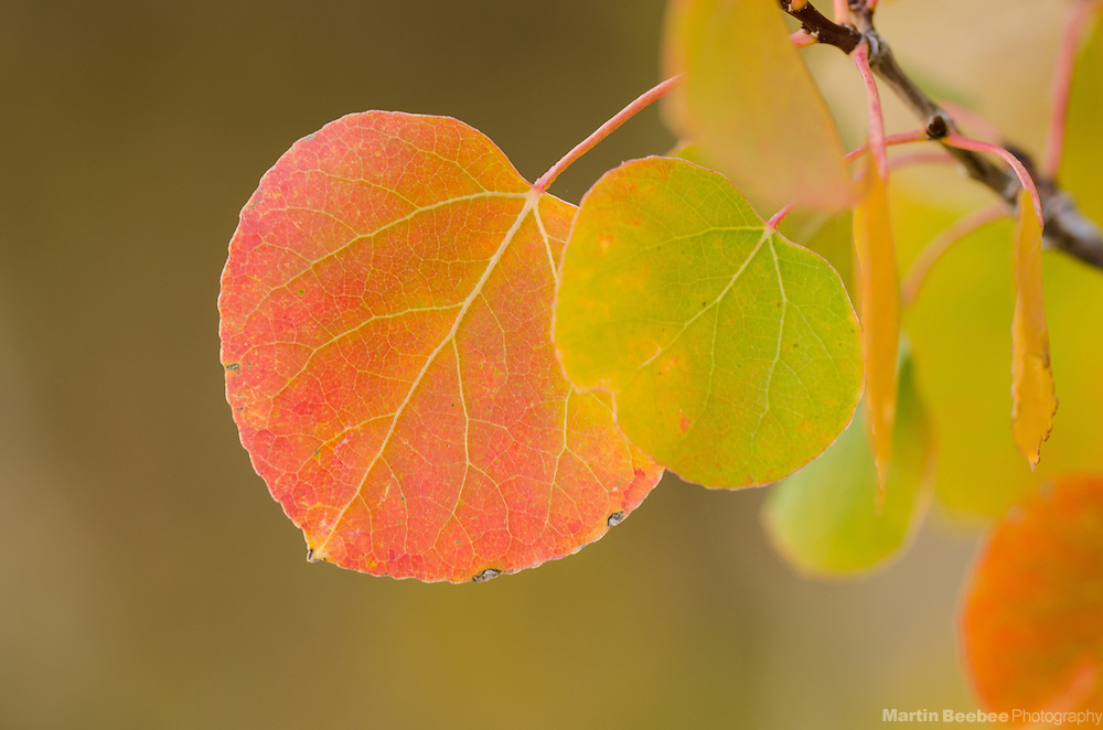 Quaking Aspen (Populus tremuloides) leaves, Toiyabe National Forest, California