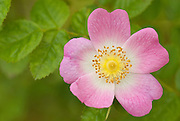 Dog Rose, Rosa canina, growing in Coombs dale, Peak District