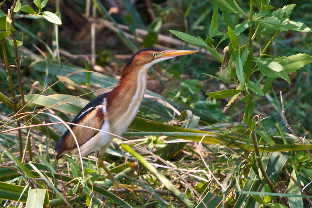 Least Bittern, Paul J. Rainey Wildlife Sanctuary, Vermilion Parish, Louisiana, USA