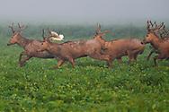 Père David's deer, or Milu, Elaphurus davidianus, a group of young stags running through grass  with Cattle egret, Bubulcus ibis, Hubei Tian'ezhou Milu National Nature Reserve, Shishou, Hubei, China