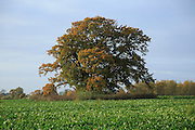 Large oak tree standing in field autumnal leaves, Sutton, Suffolk, England, UK