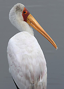 A yellow-billed stork (Mycteria ibis) in a watercourse leading into the Mara River. Serengeti National Park, Tanzania.