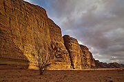 White saxaul (Haloxylon persicum) tree below eroded sandstone cliffs at sunset in Burrah Canyon, Wadi Rum, Jordan.