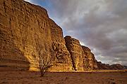 White saxaul (Haloxylon persicum) tree below eroded sandstone cliffs at sunset in Burrah Canyon, Wadi Rum, Jordan.