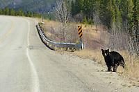 A Black Bear pauses beside the Alaska Highway