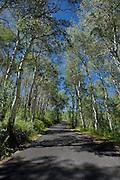 Road through an aspen forest on the Alpine Loop near Mt. Timpanogos in Utah