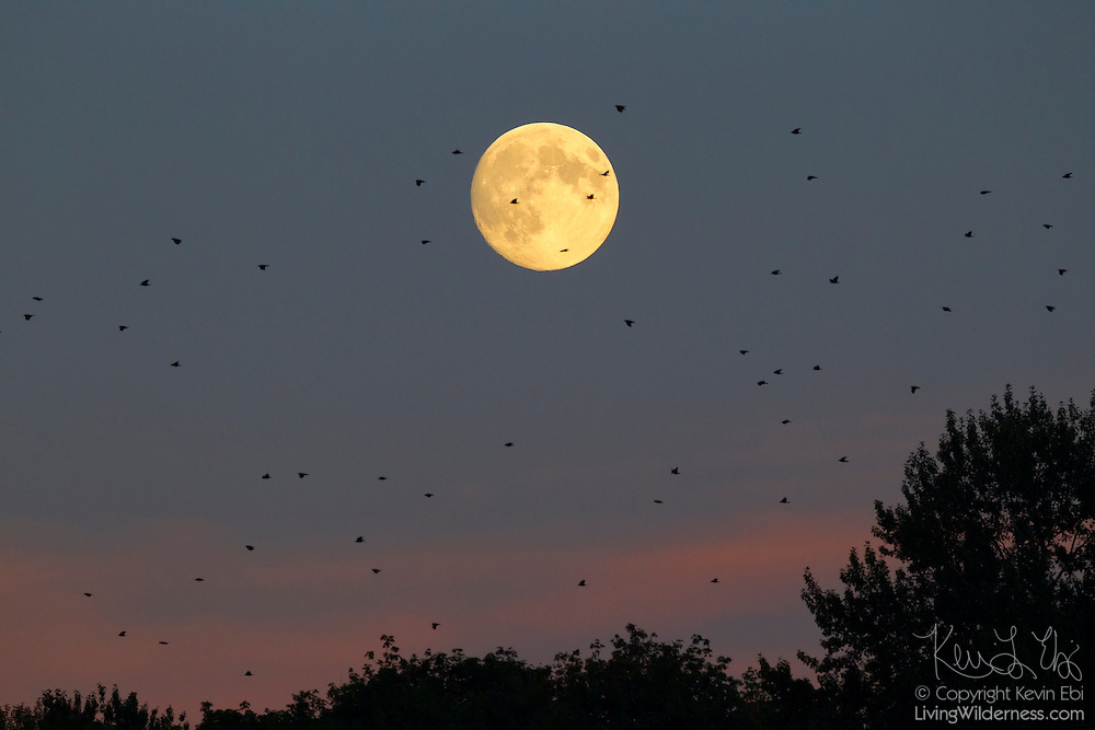 A murder of American crows flies over a forested area of Bothell, Washington, as the full harvest moon rises.