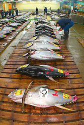 raw yellowfin tunas, Thunnus albacares, getting set for auction, Tsukiji Fish Market or Tokyo Metropolitan Central Wholesale Market, the world's largest fish market, hadling over 2, 500 tons and over 400 different kind of fresh sea food per day, Tokyo, Japan