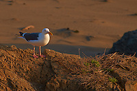 Herring Gull at Piedras Blancas Beach, Central California Coast. Image taken with a Nikon D3x and 70-300 mm VR lens (ISO 400, 300 mm, f/8, 1/160 sec).